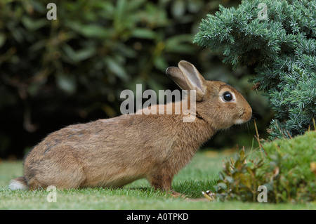 Dwarf Rabbit - Stock Image