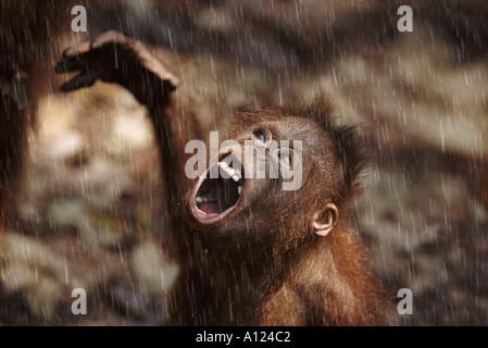 Young orangutan in the rain Borneo - Stock-Bilder