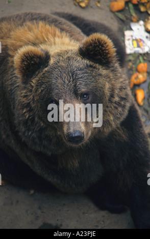 European Brown Bear (Ursus arctos arctos) - Stock Image