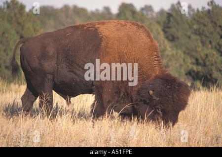 Animals American bison buffalo fierce eye closeup portrait - Stock Image