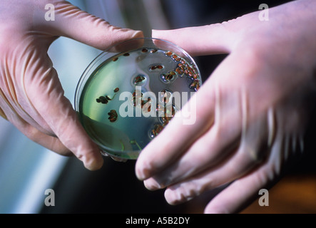 Science Lab Technician With Two Rubber Gloved Hands Holding a Petri Dish - Stock Image
