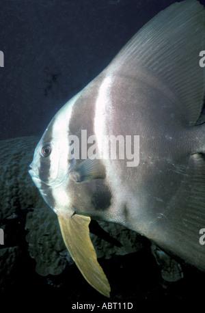 Batfish underwater Seychelles - Stock Image