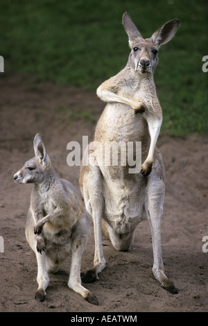 Red Kangaroo (Macropus rufus) with joey - Stock Image