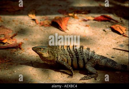 Costa Rica Maunel Antonio Nationalpark Leguan  - Stock Image