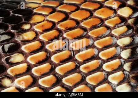 Extreme Close-up of the Skin of a Cape Coral Snake (Aspidelaps lubricus lubricus) - Stock Image