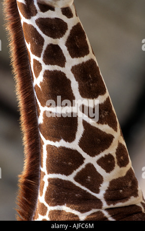 Giraffe neck - Stock Image