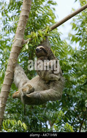 Three-toed Sloth and cub in the forest beside Lago Gatun (lake), Republic of Panama. - Stock-Bilder