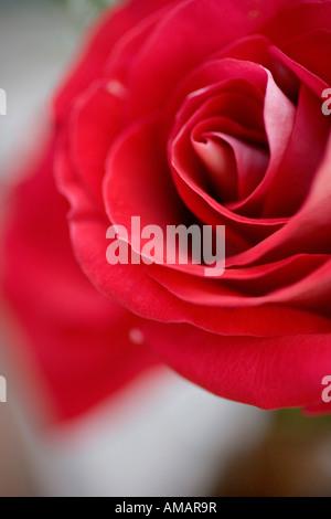 A rose - Stock-Bilder