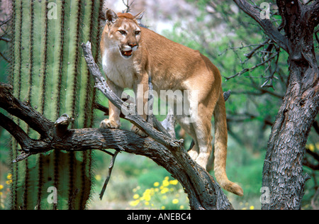 cougars in arizona