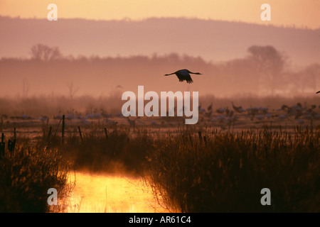 Common Crane Grus grus lone adult flying across marshes at dawn Hornsborga Sweden April - Stock Image