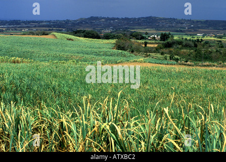 Barbados West Indies Sugar Cane Field - Stock Image