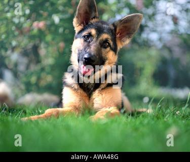DOG:  German Shepherd Puppy - Stock Image