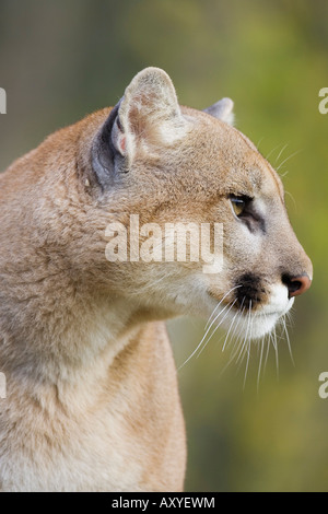 Mountain lion (cougar) (Felis concolor) staring, in captivity, Minnesota Wildlife Connection, Minnesota, USA, North - Stock Image