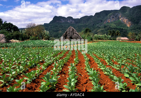 Field of rows of young tobacco plants - Stock Image