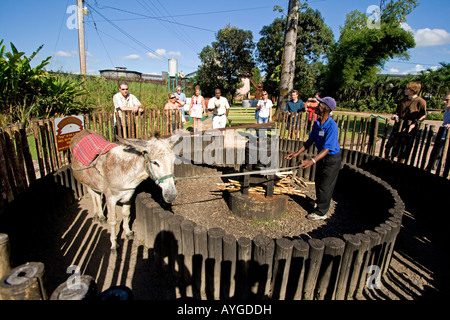 Jamaica Appleton Jamaica Rum factory district St Elisabeth Worker showing how a donkey grinds cane - Stock Image