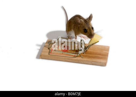 Mouse about to take the cheese bait on a mousetrap - Stock Image