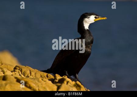 a little shag little pied cormorant on rocks stock image