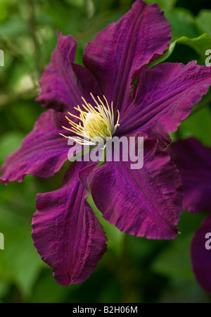 clematis nike stock photos clematis nike stock images alamy. Black Bedroom Furniture Sets. Home Design Ideas