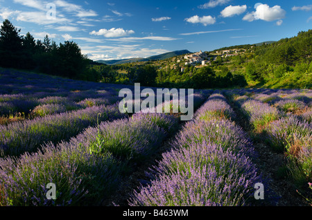a lavender field with the village of Aurel beyond, the Vaucluse, Provence, France - Stock Image