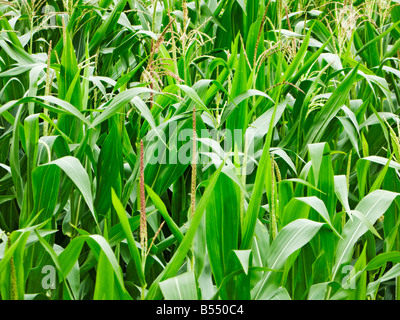 Maize plants in summer - Stock Image