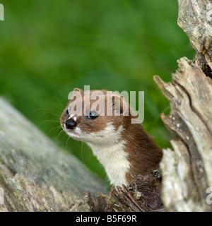 Weasel Mustela nivalis framed with dead wood - Stock-Bilder