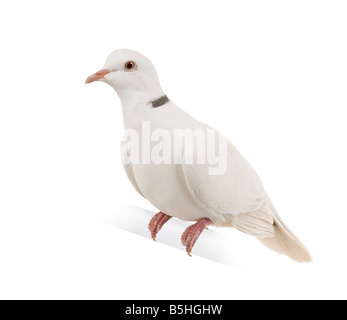 Ringneck Dove in front of a white background - Stock Image