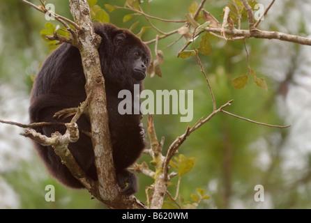 Guatemalan Black Howler Monkey (Alouatta pigra) - Stock-Bilder