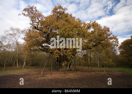 Major Oak Sherwood Forest - Stock Image