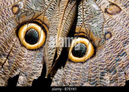 Owl butterfly (caligo species) in Costa Rica - Stock Image