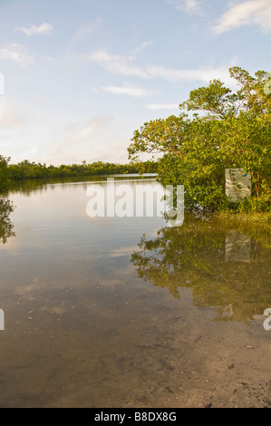 Red Mangrove Trees Over Water Rookery Bay National Estuarine Research Reserve southwest Florida - Stock Image