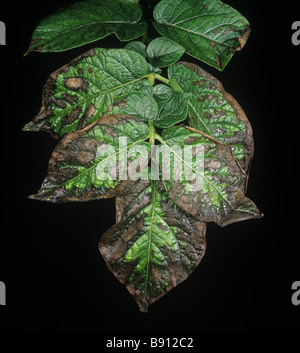 Potato leaf necrosis magnesium deficiency due to excessive potassium and drought stress - Stock Image