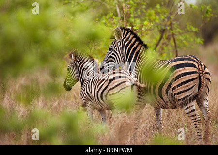 zebra, Kruger National Park, South Africa - Stock Image