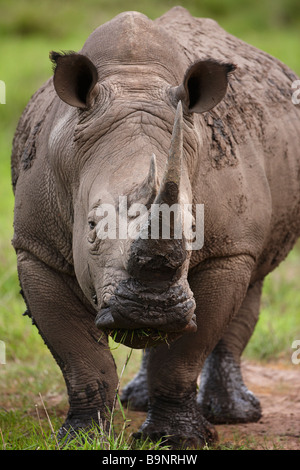 white rhinoceros in the bush, Kruger National Park, South Africa - Stock Image