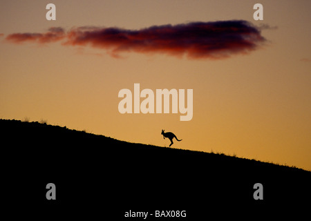 Kangaroo silhouetted in the sunset - Stock Image