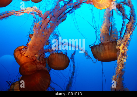 orange jelly fish, nettle jellyfish - Stock Image
