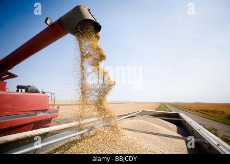 Unloading lentils into truck, Saskatchewan - Stock Image