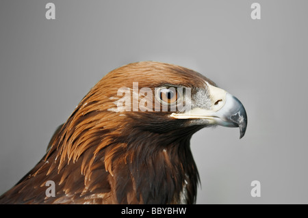 golden eagle isolated on grey background - Stock Image