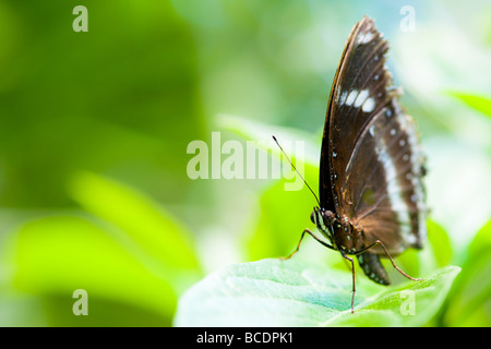 orchard swallowtail butterfly (lat. papilio aegeus) with green out of focus background - Stock Image