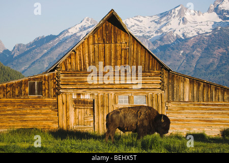 American Bison, Buffalo (Bison bison) adult in front of old wooden Barn and grand teton range, Antelope Flat, Grand - Stock-Bilder