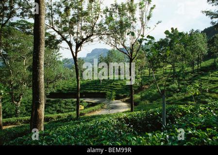 Tea plantation, mongoose crossing path in distance, Darjeeling, India - Stock-Bilder