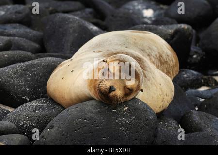 Galapagos Sea Lion (Zalophus wollebaeki), adult at beach, Espanola Island, Galapagos, Ecuador, South America - Stock-Bilder