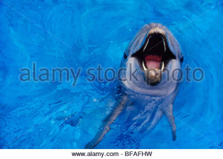 Bottlenosed dolphin calling, Tursiops truncatus, Native to warm and temperate oceans worldwide - Stock-Bilder