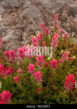 Subalpine Wildflowers - Pink/Red - Mount Rainier National Park ...