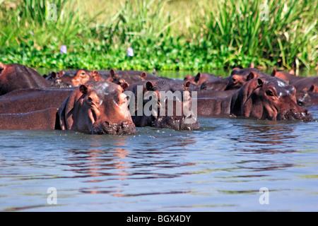 Hippo (Hippopotamus amphibius), Murchison Falls Conservation Area, Uganda, Africa - Stock-Bilder