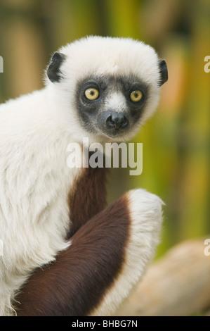 Coquerel's Sifaka Lemur (Propithecus coquereli), Ampijoroa Field Station, Madagascar - Stock-Bilder