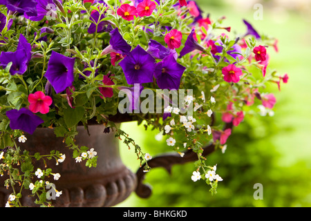 Petunia flowers in an iron pot - Stock Image