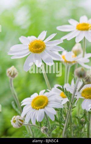 the flower chamomile close up - Stock-Bilder