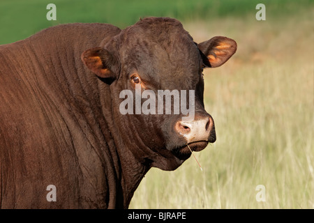 Portrait of a bull against a pasture background - Stock Image