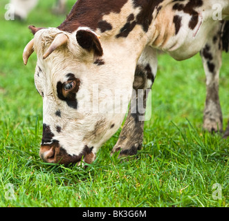 Normande cow grazing in a field in France - Stock Image
