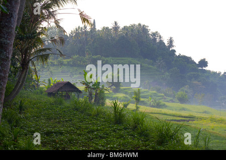 Rice field at Tirta gangga, Bali Indonesia - Stock Image